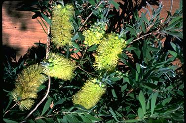 APII jpeg image of Callistemon pallidus 'Candle Glow'  © contact APII