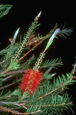 APII jpeg image of Callistemon 'Packers Selection'  © contact APII