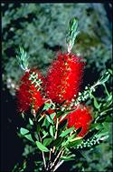 Callistemon 'Splendens' - click for larger image