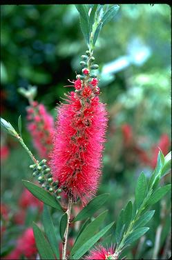 APII jpeg image of Callistemon 'Western Glory'  © contact APII