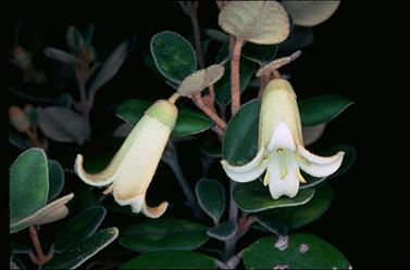 APII jpeg image of Correa 'Ivory Bells'  © contact APII