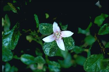APII jpeg image of Correa alba 'Western Pink Star'  © contact APII