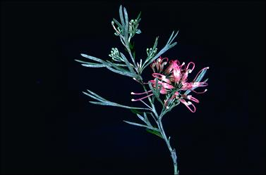 APII jpeg image of Grevillea 'Chatsworth Lorran'  © contact APII