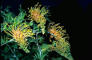 APII jpeg image of Grevillea 'Golden Glory'  © contact APII