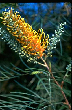 APII jpeg image of Grevillea 'Honey Gem'  © contact APII