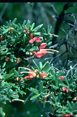 APII jpeg image of Grevillea 'Little Thicket'  © contact APII