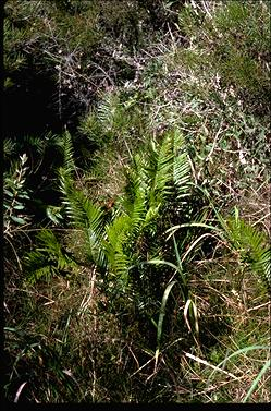 APII jpeg image of Blechnum indicum  © contact APII