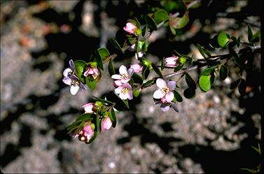 APII jpeg image of Boronia rhomboidea  © contact APII