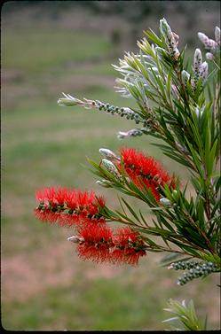 APII jpeg image of Callistemon 'Dawson River Weeper'  © contact APII