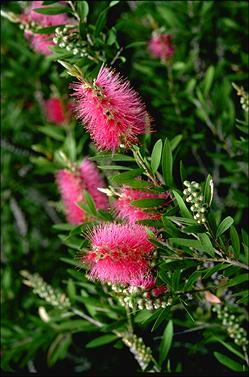 APII jpeg image of Callistemon 'Mauve Mist'  © contact APII