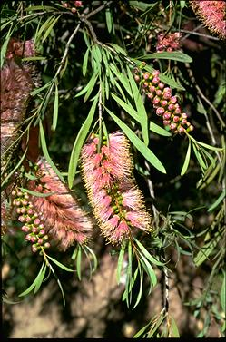 APII jpeg image of Callistemon 'Perth Pink'  © contact APII