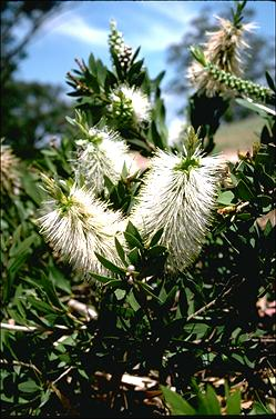 APII jpeg image of Callistemon citrinus 'White Anzac'  © contact APII