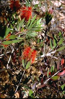 APII jpeg image of Callistemon polandii  © contact APII