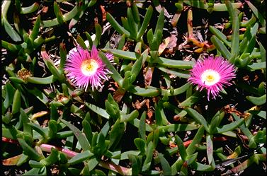 APII jpeg image of Carpobrotus rossii  © contact APII