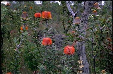 APII jpeg image of Banksia coccinea  © contact APII