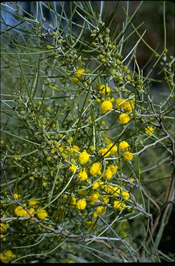APII jpeg image of Acacia rigens  © contact APII