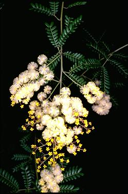 APII jpeg image of Acacia terminalis  © contact APII