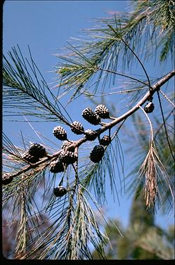 APII jpeg image of Allocasuarina littoralis  © contact APII