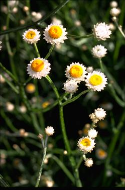 APII jpeg image of Ammobium alatum  © contact APII