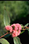Eucalyptus lansdowneana - click for larger image