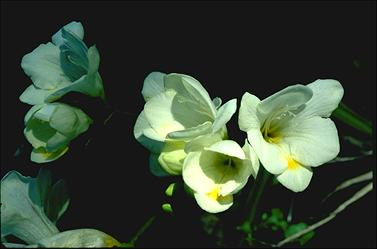 APII jpeg image of Freesia  © contact APII