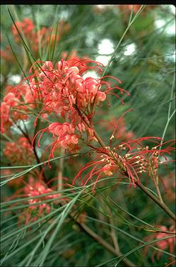 APII jpeg image of Grevillea 'Long John'  © contact APII