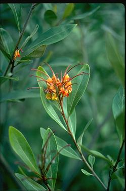 APII jpeg image of Grevillea 'Orange Marmalade'  © contact APII
