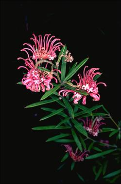 APII jpeg image of Grevillea 'Shirley Howie'  © contact APII