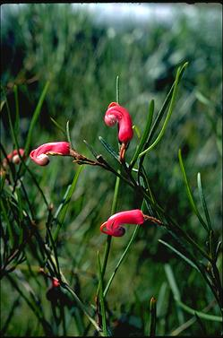 APII jpeg image of Grevillea fulgens  © contact APII