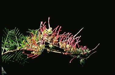 APII jpeg image of Grevillea nana  © contact APII