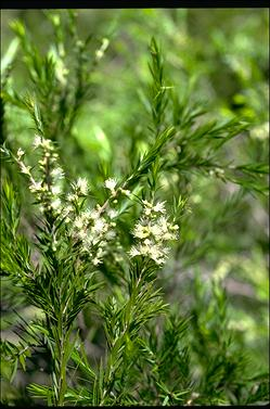 APII jpeg image of Melaleuca 'Revolution Gold'  © contact APII