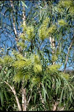 APII jpeg image of Melaleuca argentea  © contact APII