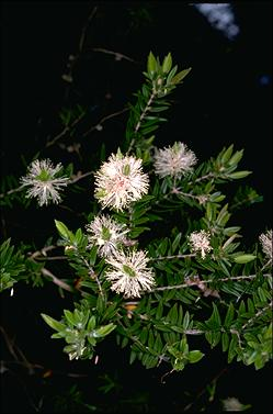 APII jpeg image of Melaleuca bracteata  © contact APII