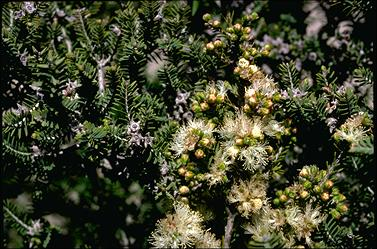 APII jpeg image of Melaleuca cuticularis  © contact APII