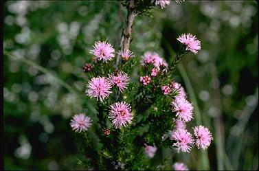 APII jpeg image of Melaleuca squamea  © contact APII