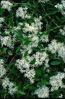 APII jpeg image of Olearia elliptica  © contact APII