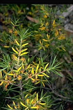 APII jpeg image of Persoonia juniperina  © contact APII