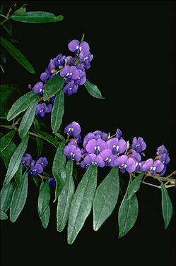 APII jpeg image of Hovea elliptica  © contact APII