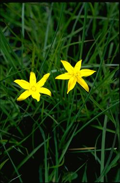 APII jpeg image of Hypoxis hygrometrica  © contact APII