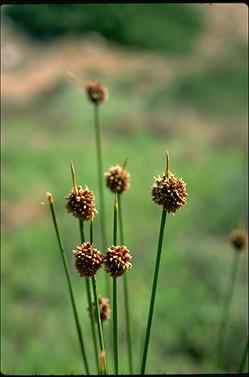 APII jpeg image of Isolepis nodosa  © contact APII