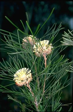 APII jpeg image of Isopogon dawsonii  © contact APII