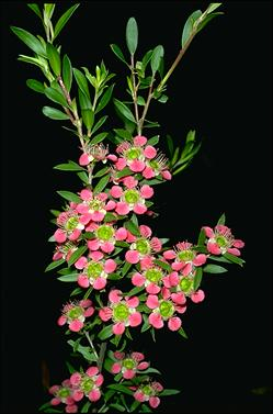 APII jpeg image of Leptospermum spectable 'Aphrodite'  © contact APII