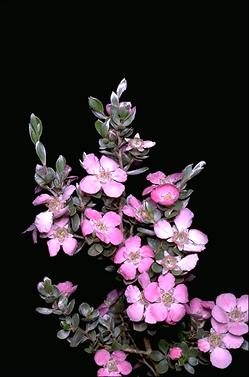 APII jpeg image of Leptospermum sericeum  © contact APII