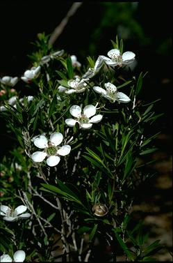 APII jpeg image of Leptospermum variabile  © contact APII