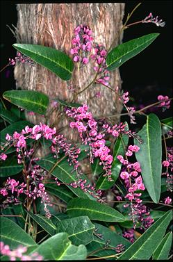 APII jpeg image of Hardenbergia violacea 'Happy Wanderer'  © contact APII