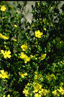 APII jpeg image of Hibbertia riparia  © contact APII