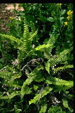 APII jpeg image of Blechnum fluvaitile  © contact APII