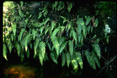 APII jpeg image of Blechnum vulcanicum  © contact APII