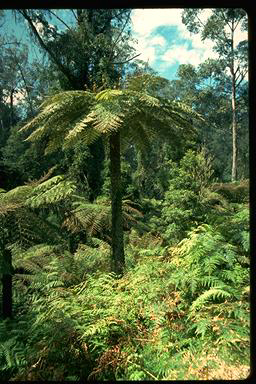APII jpeg image of Cyathea australis  © contact APII