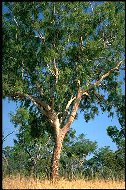 APII jpeg image of Corymbia bleeseri  © contact APII